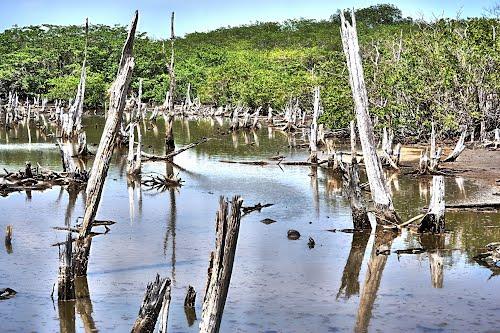 ¿Qué actividades humanas afectan la deforestación de los manglares?